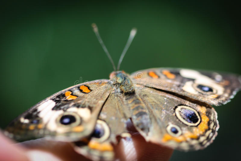 Gemensam Buckeye Junonia Coenia arkivfoto