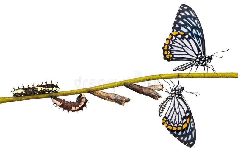 Gemensam cirkulering för liv för fjäril för farsPapilio clytia arkivbilder
