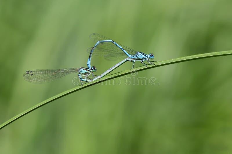 gemensam damselflyihopparning för blue royaltyfri fotografi