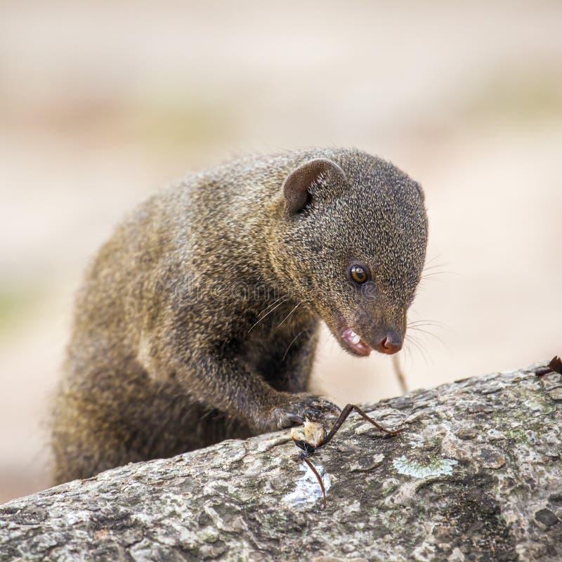 Gemensam dvärg- mungor i den Kruger nationalparken royaltyfri foto