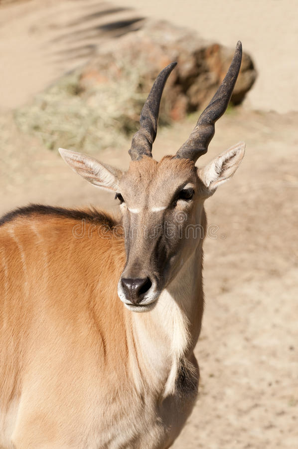 gemensam eland royaltyfri foto