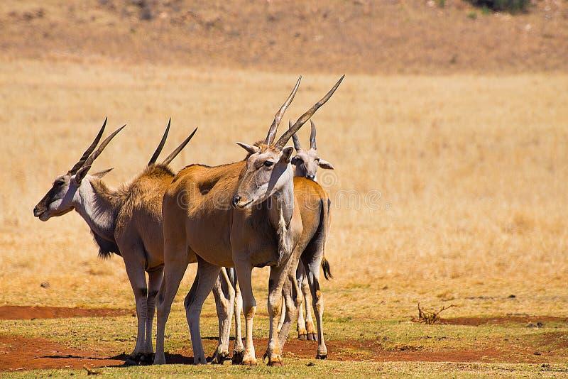 Gemensam eland för flock i savann, Afrika royaltyfri bild
