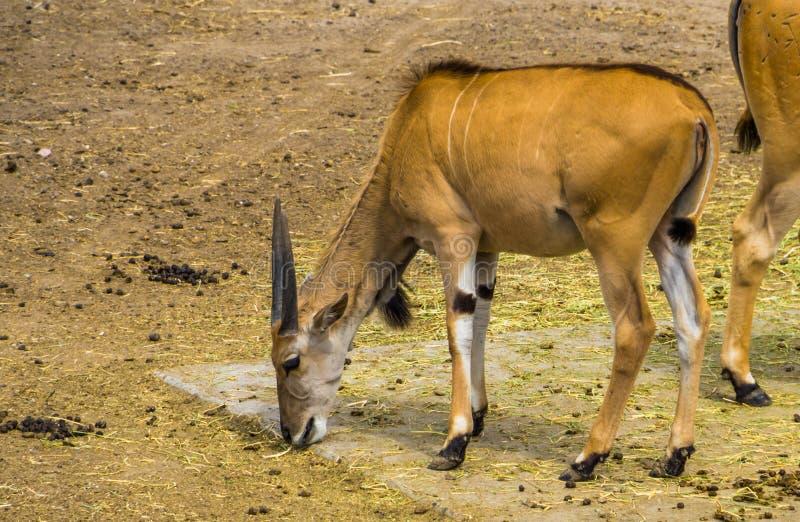 Gemensam eland som äter hö av jordningen, tropisk antilopspecie från Afrika arkivbilder
