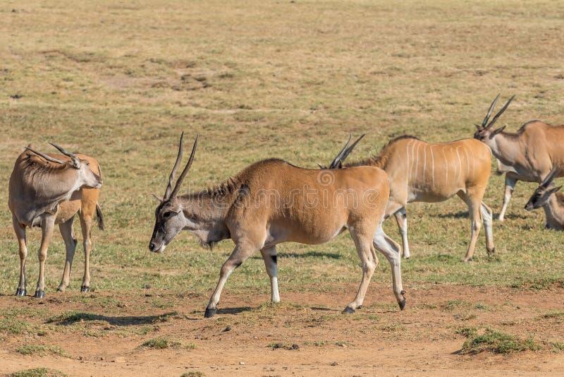 Gemensam eland som rakt till går från vänstert arkivbilder
