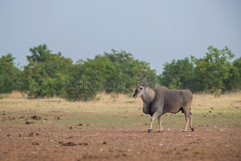 Gemensam eland - Taurotragusoryxantilop fotografering för bildbyråer