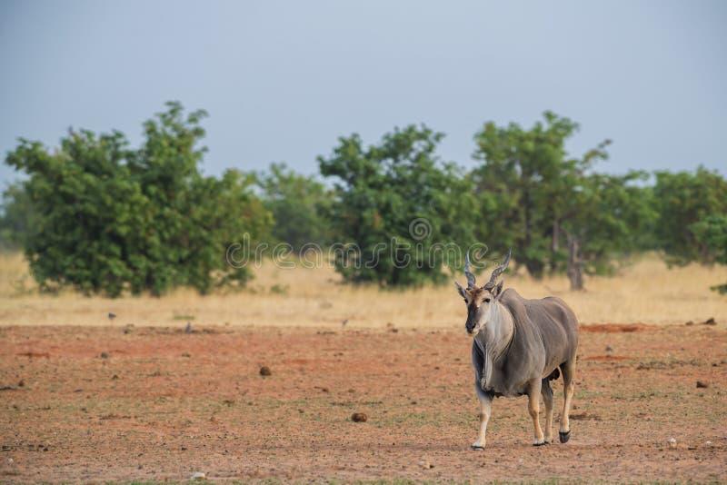 Gemensam eland - Taurotragusoryxantilop arkivbild