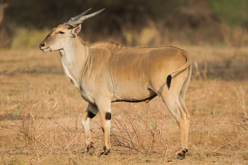 Gemensam eland & x28; Tragelaphusoryx& x29; royaltyfri fotografi