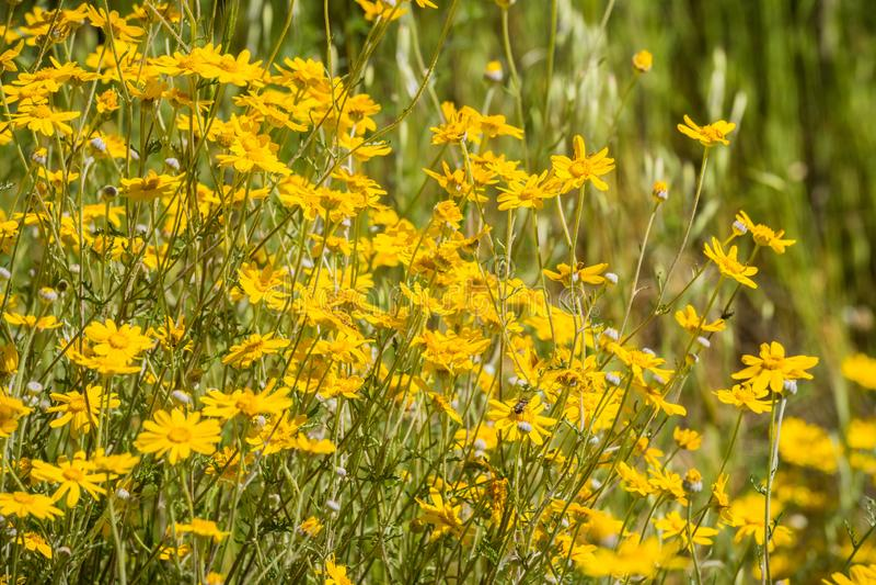 Gemensam Eriophyllumlanatum för ullig solros som blommar i Stebbins den kalla kanjonen, Napa Valley, Kalifornien royaltyfri foto
