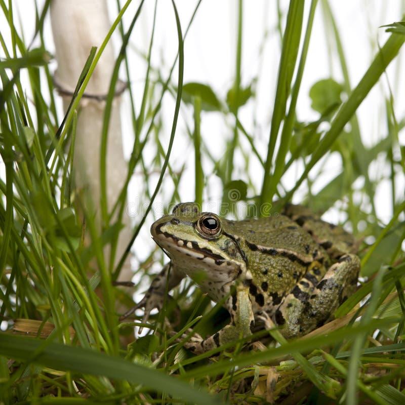Gemensam europeisk groda eller ätlig groda, Rana som är esculenta i gräs royaltyfri bild