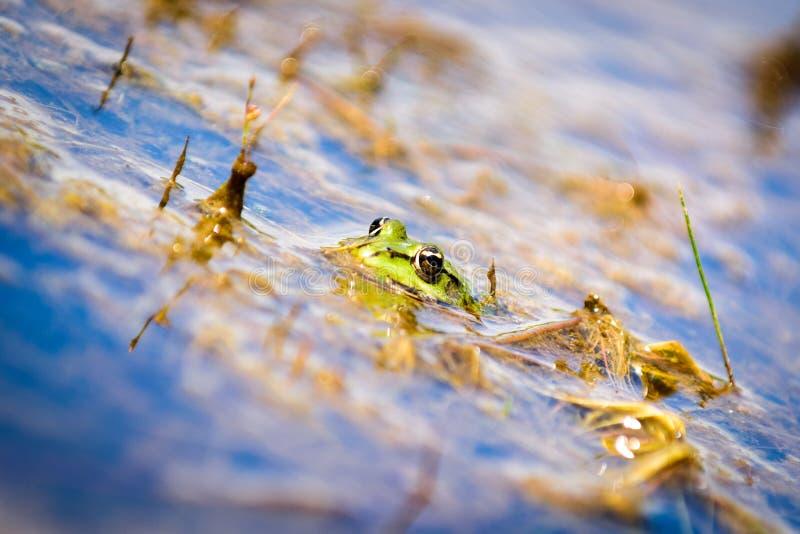 Gemensam europeisk vattengroda, grön groda i dess naturliga livsmiljö, royaltyfria bilder