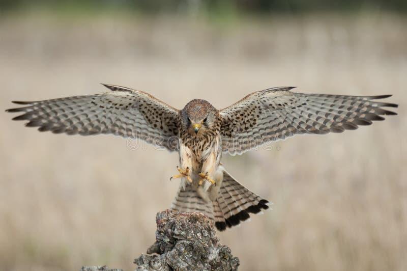 Gemensam Falco för tornfalk i flykten - tinnunculus arkivbilder