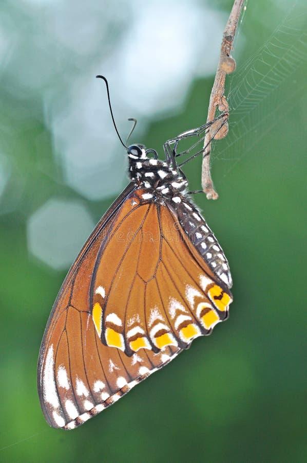 gemensam far för fjäril royaltyfria foton
