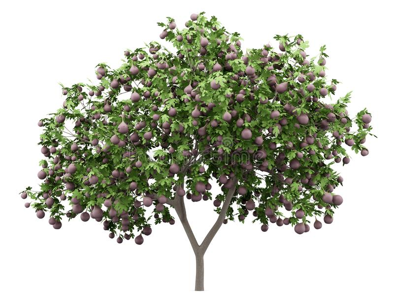 Gemensam fikonträd med fikonträd som isoleras på vit stock illustrationer