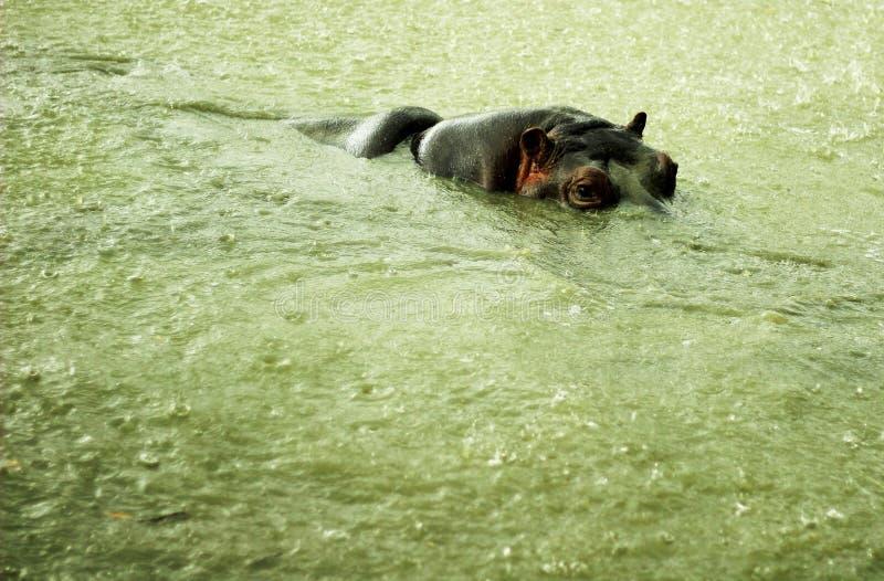 Gemensam flodhäst eller flodhästlat Flodhästamphibiusen är ett däggdjur från beställningen av klyva-traskat royaltyfri foto