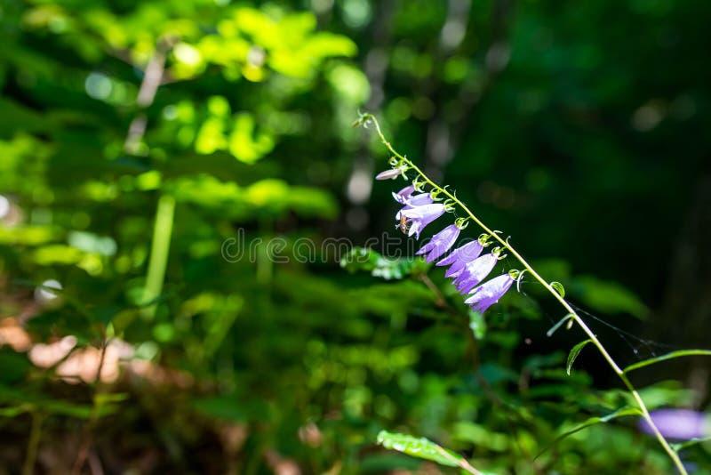 Gemensam fluga som sitter på rapunculoides för blåklockablommaklockblomma i de lövfällande träna royaltyfri foto