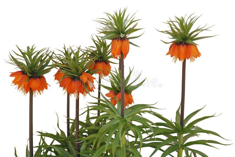 gemensam fritillariaimperialisrubra royaltyfria foton