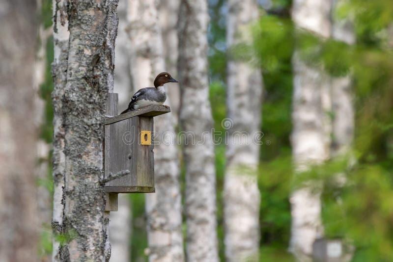 Gemensam goldeneye som är kvinnlig överst av en sångfågelredeask royaltyfria foton