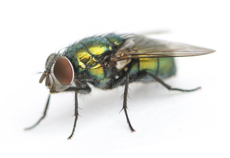 Gemensam grön flaskfluga, Phaenicia sericata som isoleras royaltyfri fotografi