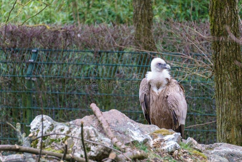 Gemensam griffon som fördelar hans vingar arkivfoto