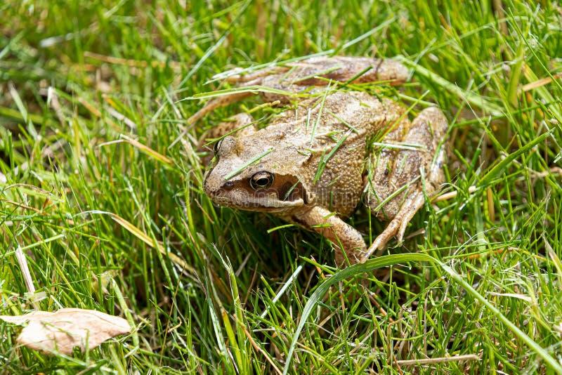 Gemensam groda i något gräs på en solig dag royaltyfri bild