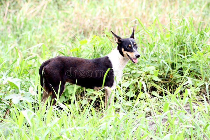 Gemensam hund royaltyfria bilder