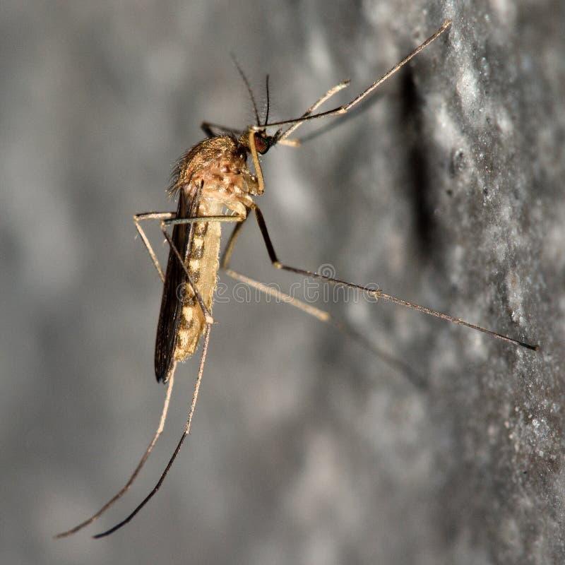 Gemensam husmygga (Culexpipiens) i profil arkivfoto