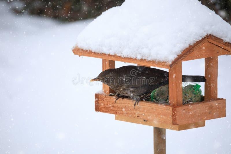 Gemensam koltrastkoltrast i enkel fågelförlagematare royaltyfria bilder