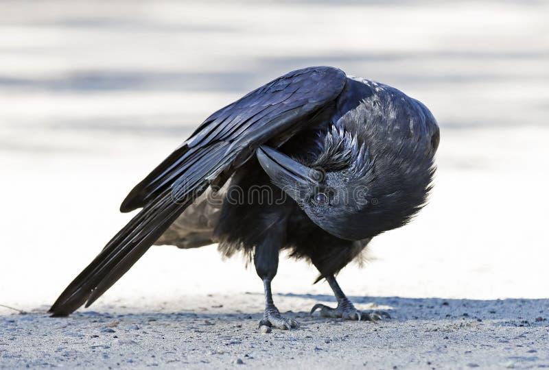 Gemensam korpsvart Corvuscorax som putsar i Algonquin, parkerar, Kanada royaltyfri fotografi