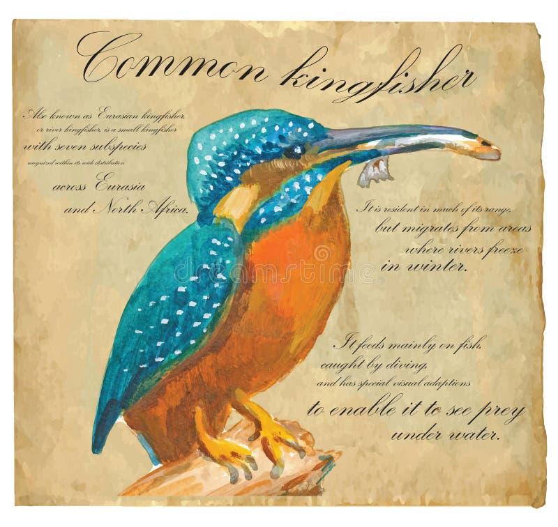 Gemensam kungsfiskare - en hand målad vektor vektor illustrationer