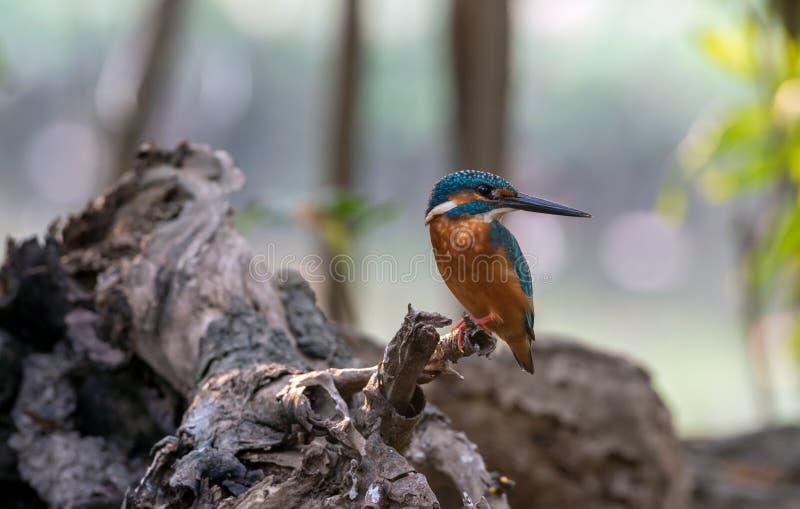Gemensam kungsfiskarefågel på bakgrunden för trädfilial arkivfoton