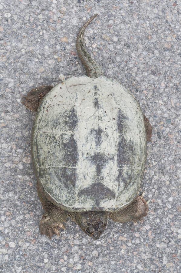 Gemensam låsande fast sköldpadda som solbadar på den konkreta vägen, closeup för bästa sikt arkivbilder