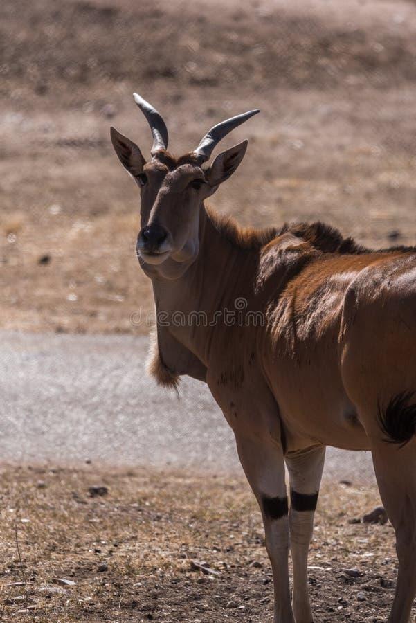 Gemensam lös eland på en solig dag royaltyfri bild