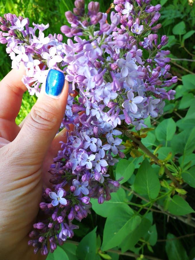 Gemensam lila, Syringa, i min hand royaltyfri fotografi