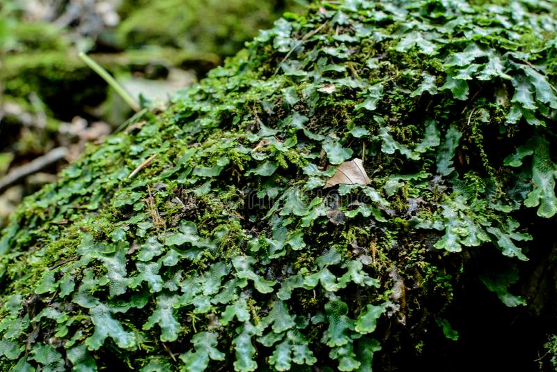 Gemensam liverwort för Marchantiapolymorpha eller paraplyliverwort royaltyfri bild