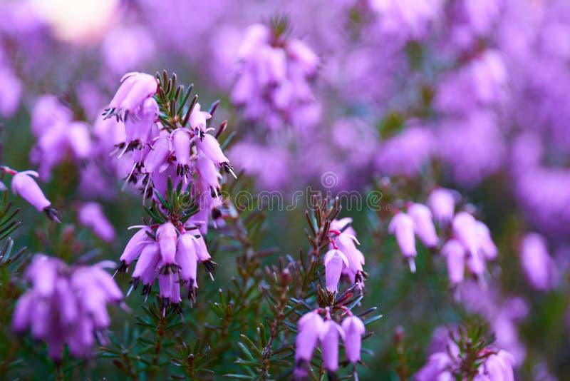 Gemensam ljung i blomning royaltyfri bild
