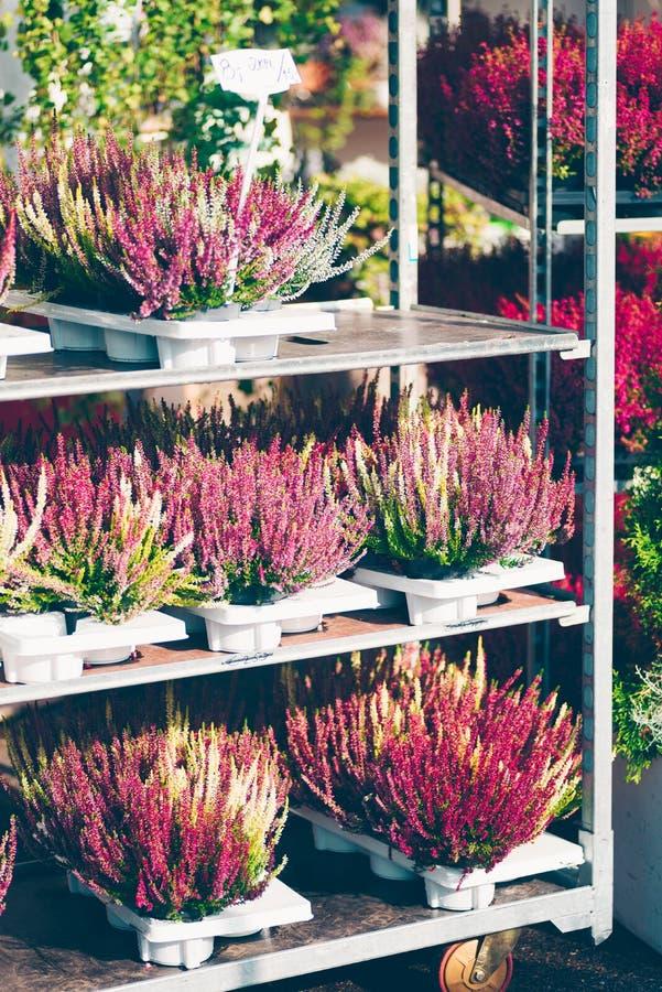 Gemensam ljung, vulgaris Calluna arkivfoton