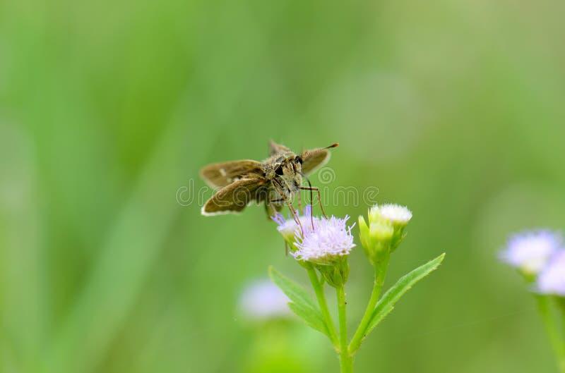 Gemensam märkt snabb fjäril (Pelopidas mathias) royaltyfri foto
