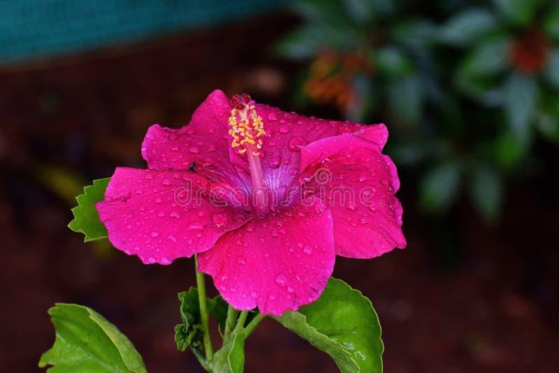 Gemensam mörk rosa hibiskusblomma arkivfoto