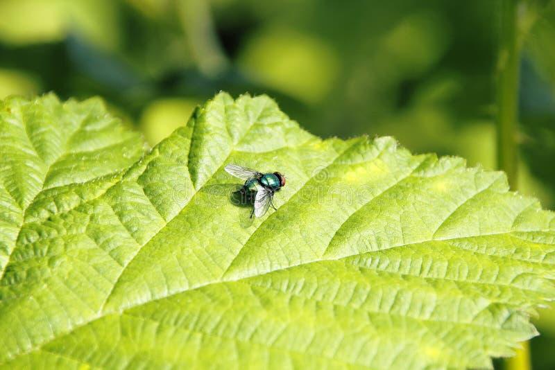 Gemensam manlig fluga arkivbild