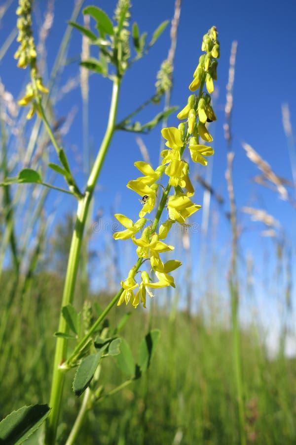 Gemensam melilot eller gul söt växt av släktet Trifolium (Melilotus officinalis) royaltyfri bild