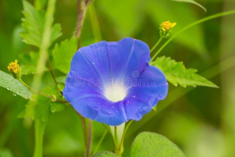 Gemensam morgon Glory Flower royaltyfri bild