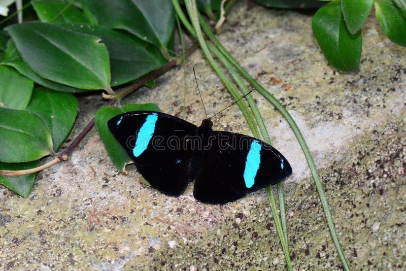 Gemensam Olive Wing fjäril arkivfoto