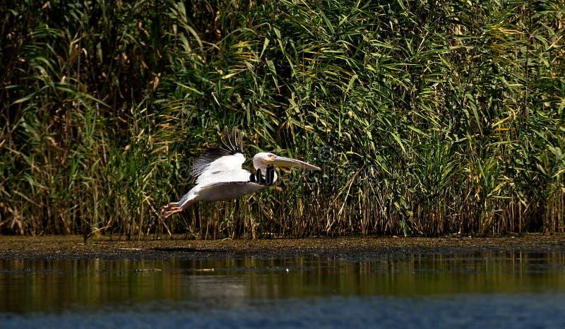 Gemensam pelikan fotografering för bildbyråer