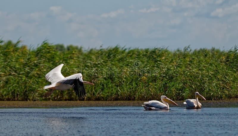 Gemensam pelikan i Donaudelta royaltyfri foto
