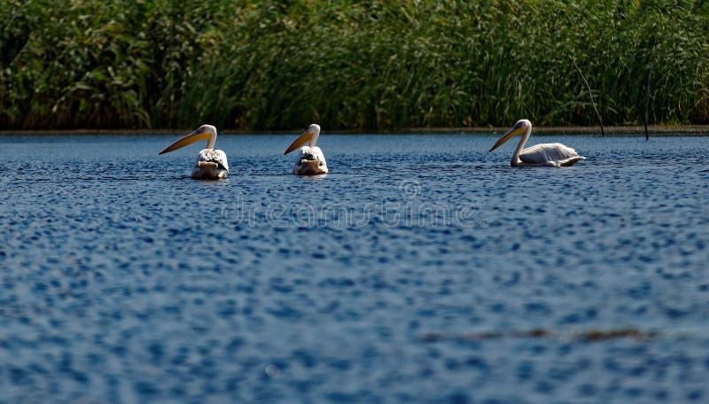 Gemensam pelikan i Donaudelta royaltyfria foton
