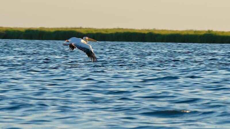 Gemensam pelikan på Danube River arkivfoton