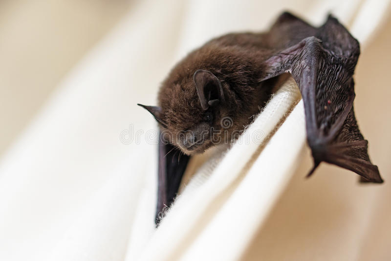 Gemensam pipistrelle (Pipistrelluspipistrellus) ett litet slagträ på a arkivbilder