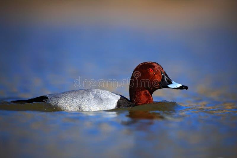 Gemensam Pochard, Aythyaferina, fågel i vattnet royaltyfri foto