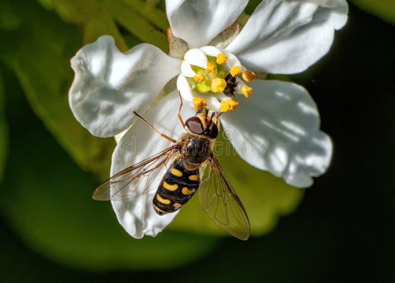 Gemensam prickig Eupeodes kvinnlig - Euphodes luniger Hoverfly i en Worcestershire trädgård arkivfoton