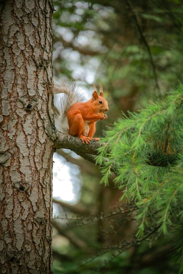 Gemensam röd ekorre som sitter på en filial av ett stort barrträd royaltyfri foto